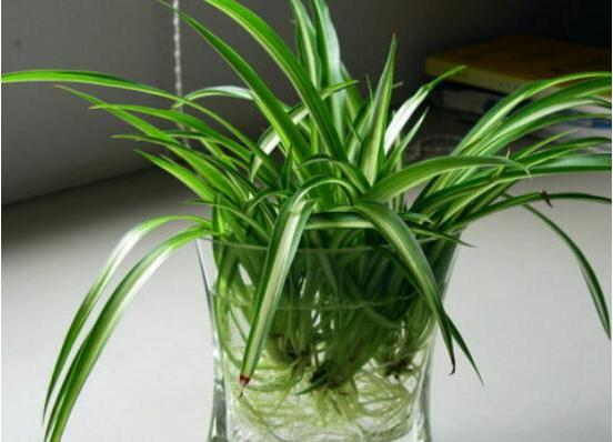 吸取甲醛的植物